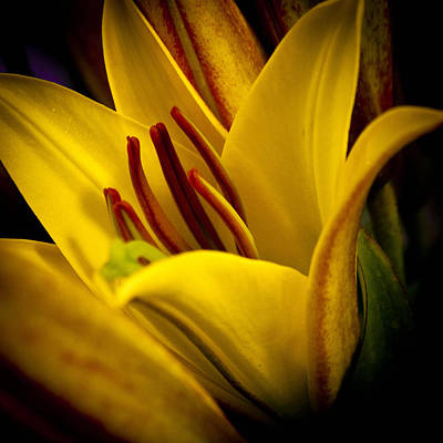 Lilies Royalty-Free and Rights-Managed Images - Yellow Lily by David Patterson