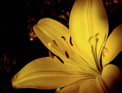 Photograph - Yellow Lily by Lilia D