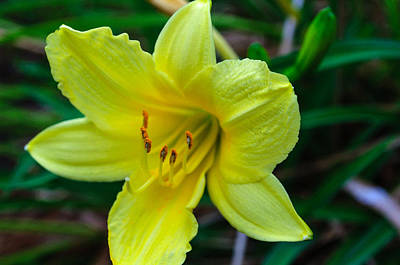 Photograph - Yellow Lily by Tikvah's Hope