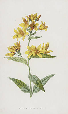 Botanical Drawing - Yellow Loose-strife  by Frederick Edward Hulme