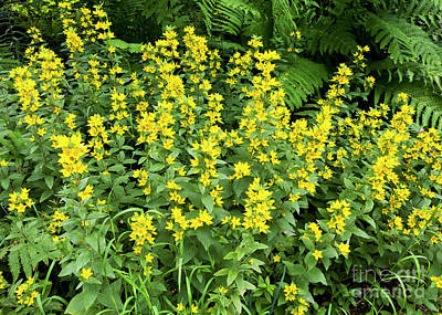 Photograph - Yellow Loosestrife by Alan L Graham