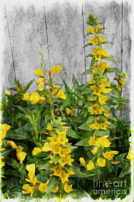 Photograph - Yellow Loosestrife by Marcia Lee Jones