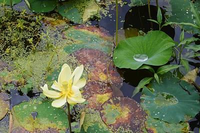 Photograph - Yellow Lotus At Paynes Prairie by Warren Thompson