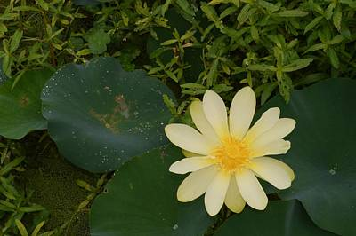Photograph - Yellow Lotus From Above by Warren Thompson