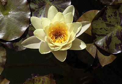 Photograph - Yellow Lotus In Watercolor by Suzanne Gaff