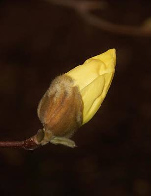 Photograph - Yellow Magnolia Bud by Karen Silvestri