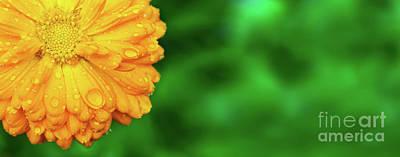 Photograph - Yellow Marigold With Wet Petals On Garden Background by Michal Bednarek