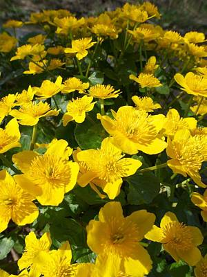 Outerspace Patenets Rights Managed Images - Yellow marsh marigold Royalty-Free Image by Jouko Lehto