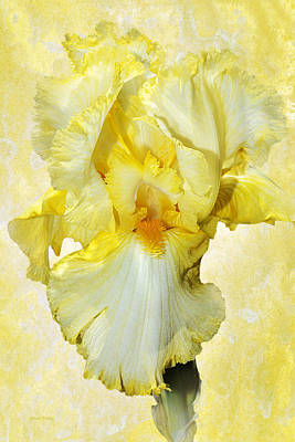 Photograph - Yellow Mist Iris by Phyllis Denton