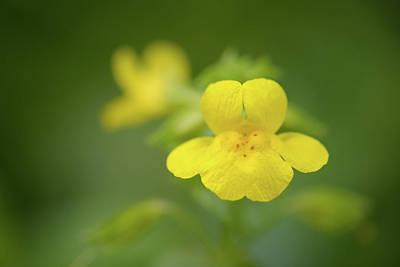 Photograph - Yellow Monkey Flower by Alexander Kunz