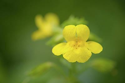 Photograph - Yellow Monkey Flower by Alexander Kunz