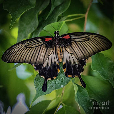 Photograph - Yellow Mormon by Joseph Yarbrough