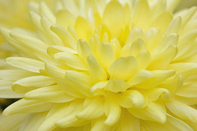 Photograph - Yellow Mum by Jim Gillen
