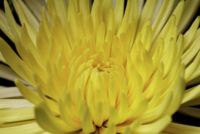 Photograph - Yellow Mum by Judy Vincent