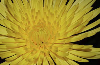 Photograph - Yellow Mum by Larah McElroy