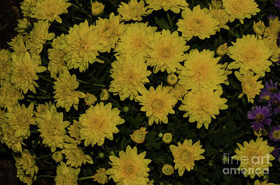 Photograph - Yellow Mums by Donna Brown