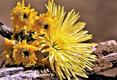 Photograph - Yellow Mums In Morning Light by Sheila Brown