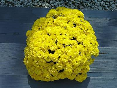 Photograph - Yellow Mums by Lisa Gilliam