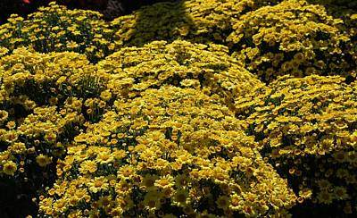 Photograph - Yellow Mums by Michiale Schneider