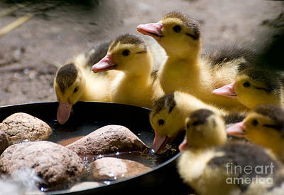 Yellow Muscovy Duck Ducklings Drinking Water  Print by Arletta Cwalina