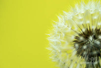Royalty-Free and Rights-Managed Images - Dandelion Yellow by DiFigiano Photography