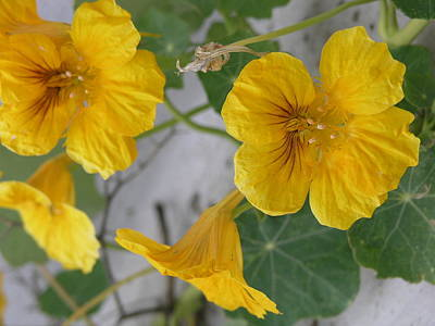 Photograph - Yellow Nasturtium by Stephen Daddona