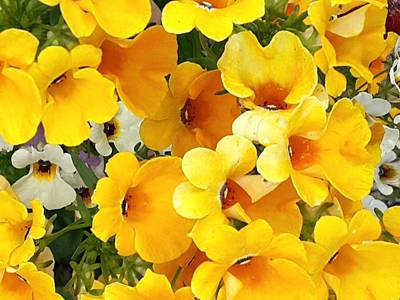 Photograph - Yellow Nemesia by Nancy Pauling