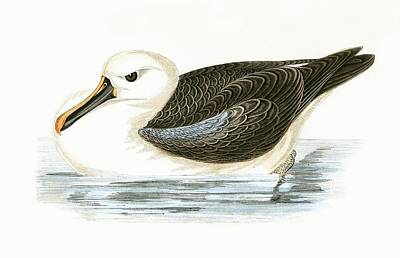 Albatross Drawing - Yellow Nosed Albatross by English School