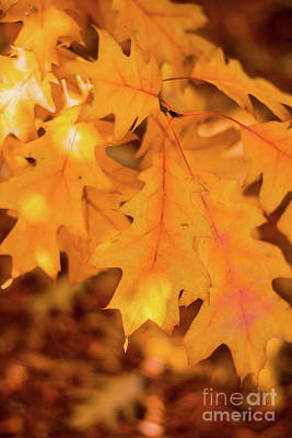 Photograph - Yellow Oak Leaves by Cheryl Baxter