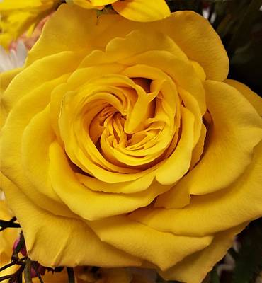 Photograph - Yellow Ochre Rose by Jim Harris