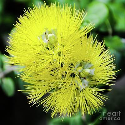 Photograph - Yellow Ohia Flowers - Hawaii  by D Davila