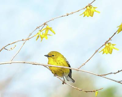 Photograph - Yellow On Yellow Pine Warbler by Lara Ellis