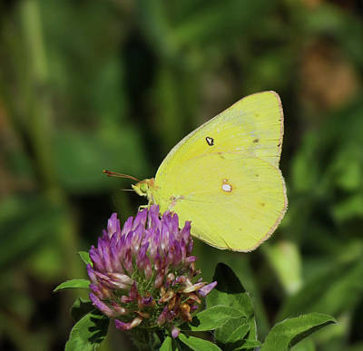 Colias Philodice Photograph - Yellow One by Eric Noa