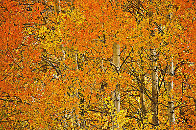 Nature Photograph - yellow orange and red aspen leaves Wenatchee NF WA USA by Ed Book