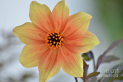 Photograph - Yellow Orange Dahlia Perfection by Debby Pueschel
