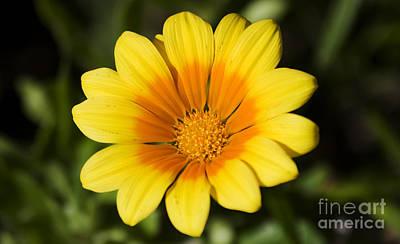 Photograph - Yellow Orange Gazania Flower by Jorgo Photography - Wall Art Gallery