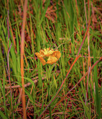 Photograph - Yellow Orange Iris #g4 by Leif Sohlman