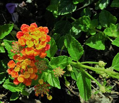 Photograph - Yellow-orange Lantana by Amanda Balough