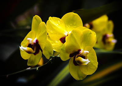 Photograph - Yellow Orchids by Bonnie Follett