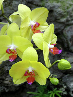 Photograph - Yellow Orchids by Julia Wilcox