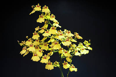 Photograph - Yellow Orchids by Lana Enderle