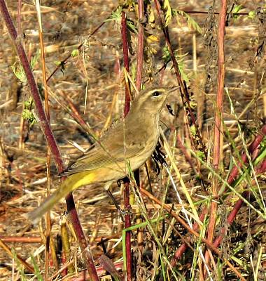 Photograph - Yellow Palm Warbler by Joshua Bales