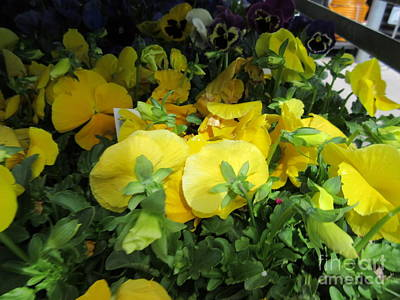 Yellow Pansies Art Print by Frederick Holiday
