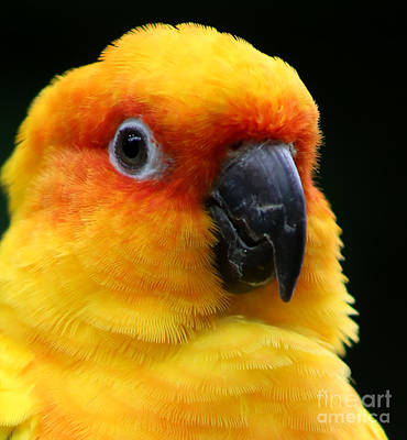 Painting - Yellow Parrot Closeup by Sue Harper