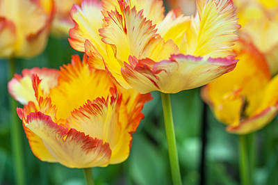 Photograph - Yellow Parrot Tulips  by Jenny Rainbow