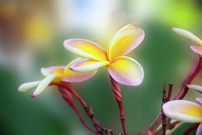 Yellow Pastel Plumeria Art Print by Sean Davey