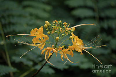 Photograph - Yellow Peacock Flower by Teresa Wilson