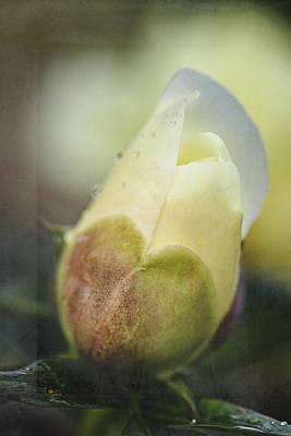 Photograph - Yellow Peony Bud by Cindi Ressler