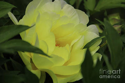 Photograph - Yellow Peony Nestled by Rachel Cohen