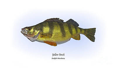 Angling Painting - Yellow Perch by Ralph Martens